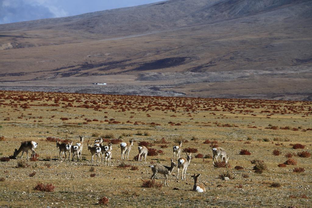 Tibetgazellen