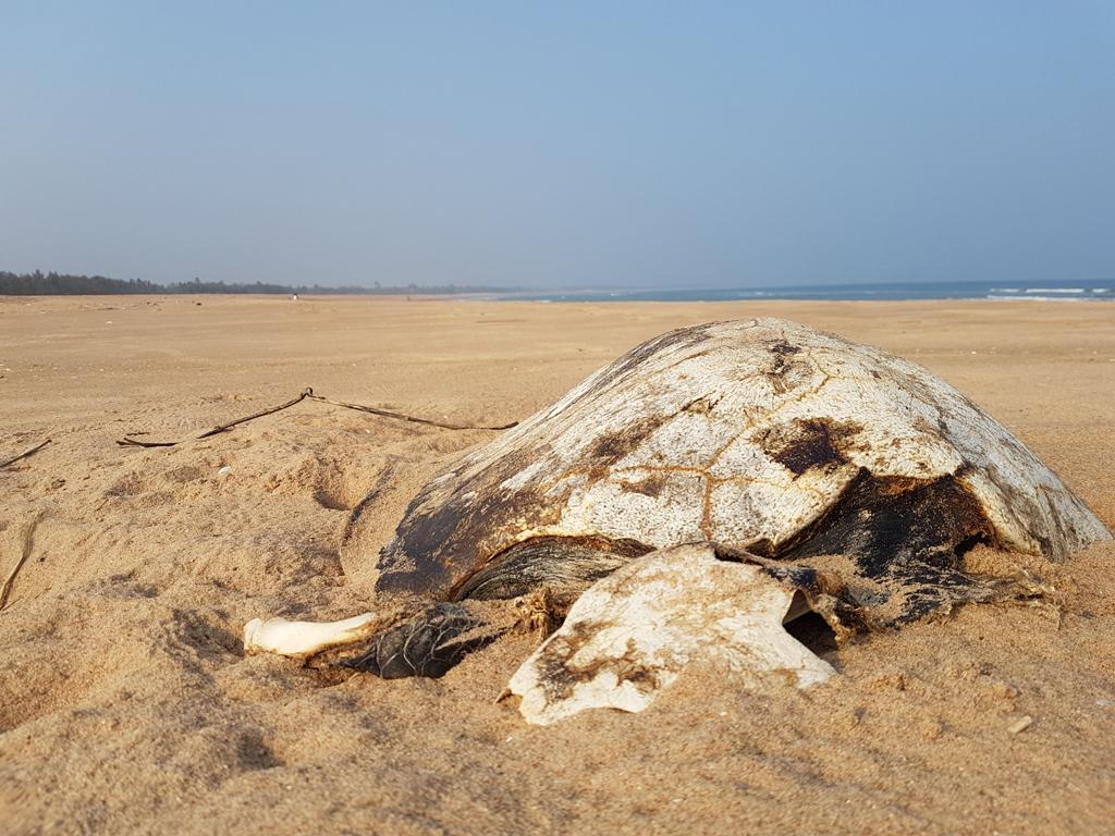 Tote Schildkröten am Strand. Sie gehen den Fischern in die Netze, ertrinken dann und werden schließlich an den Strand gespült.