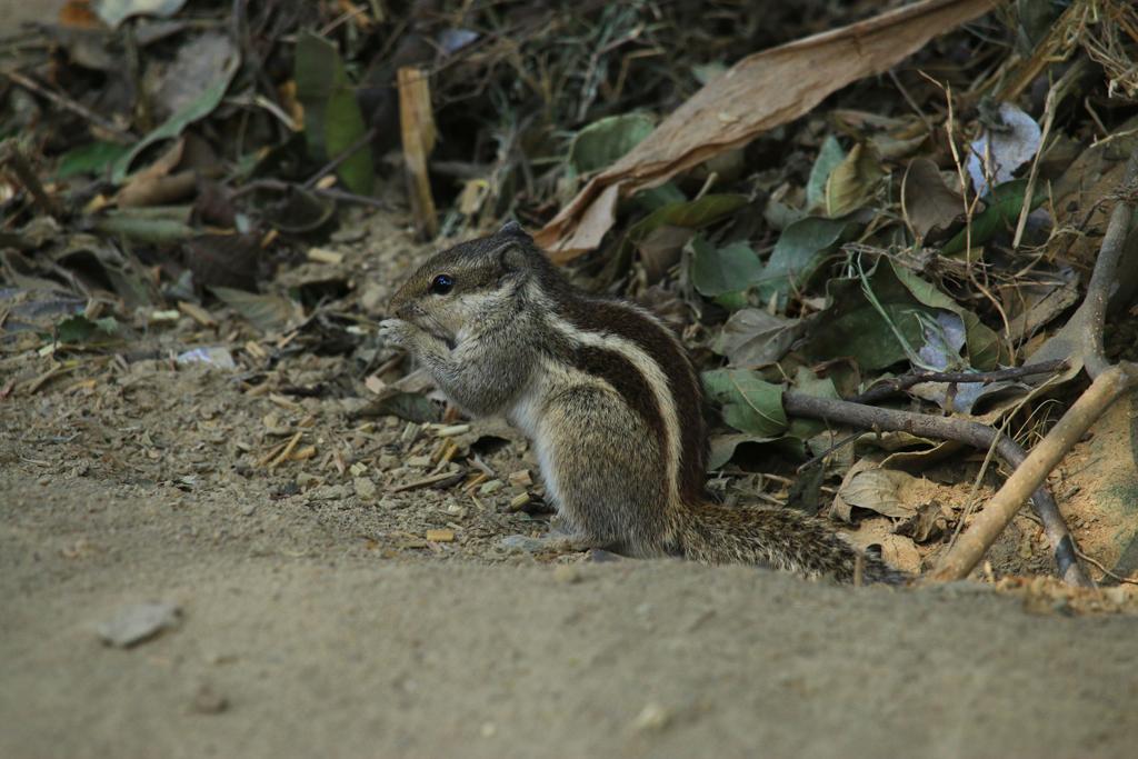 Das Streifenhörnchen