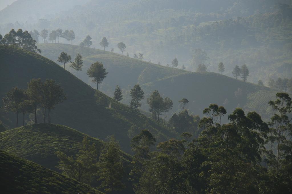 Der Morgenspaziergang durch die Teeplantagen