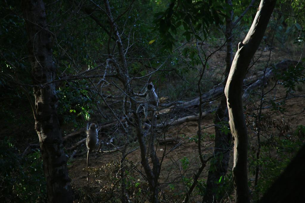 Affen im Chinar Wildlife Sactuary