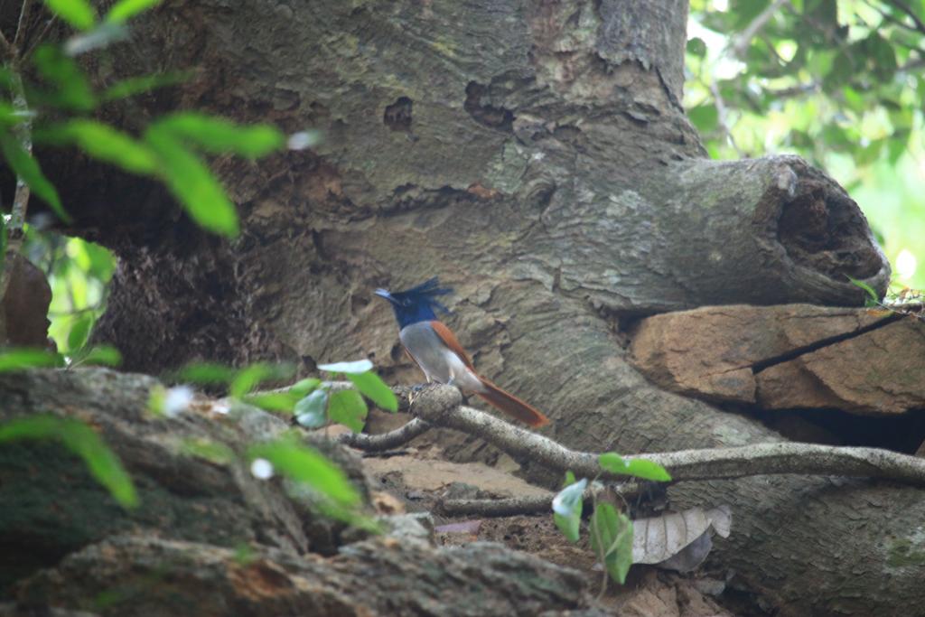 Bunter Vogel im Chinar Wildlife Sactuary