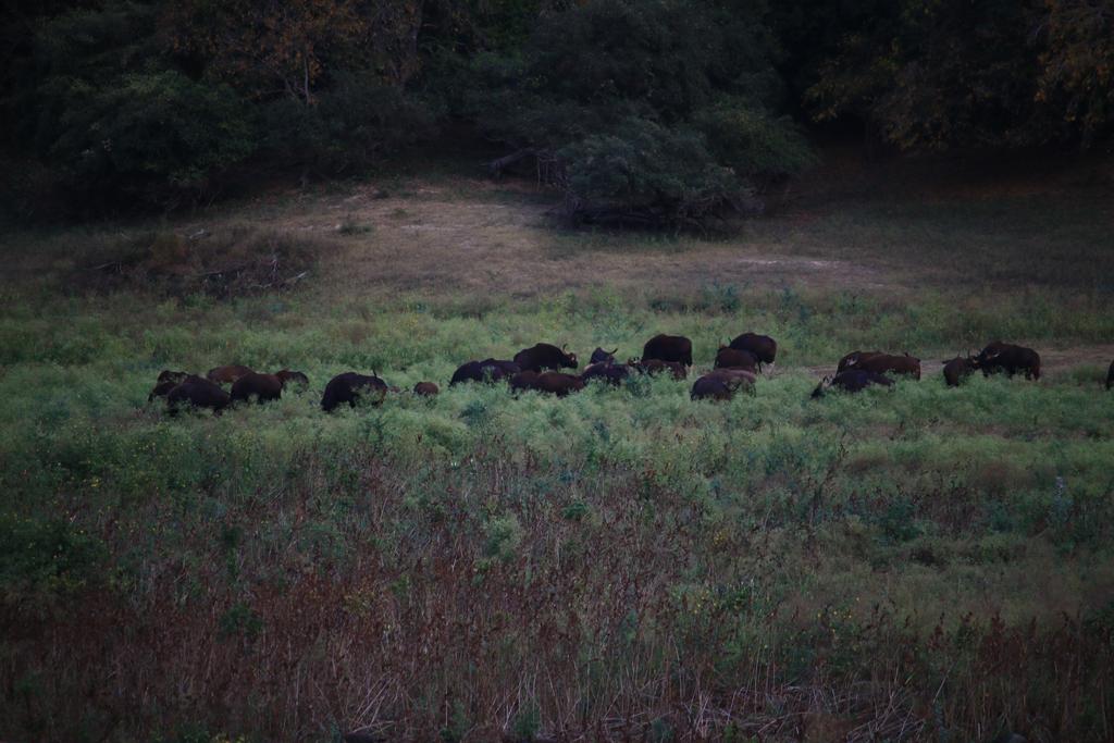 Büffel neben der Straße im Chinar Wildlife Sactuary