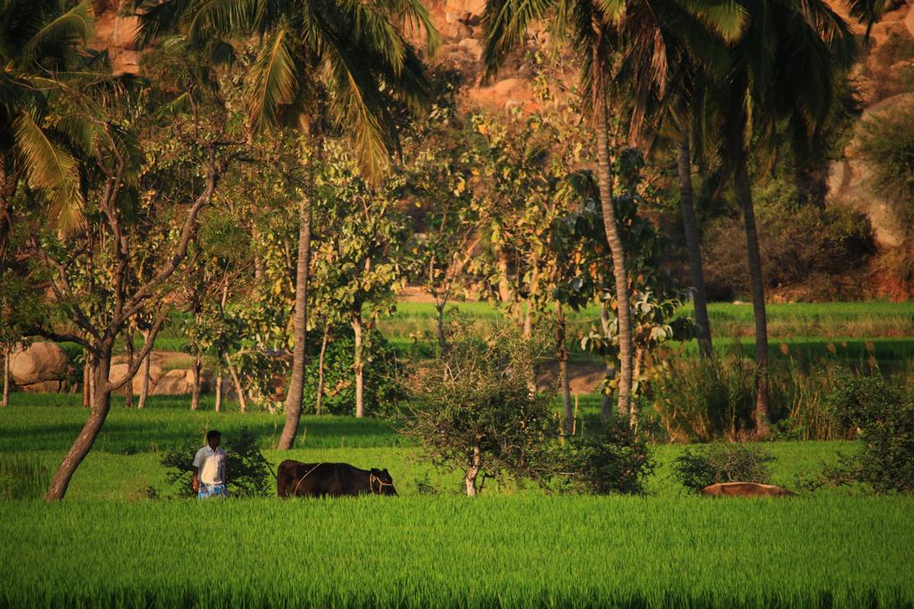 Reisfelder um Hampi